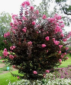 6 year old Delta Jazz Crape Myrtle
