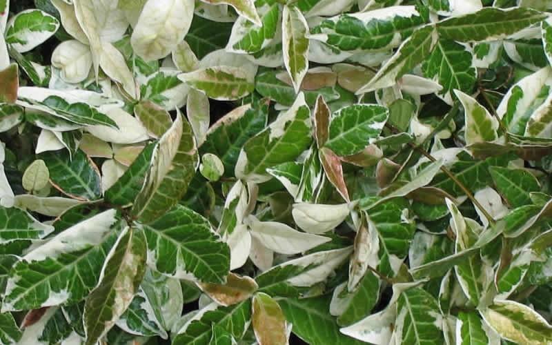 Tricolor Asian Jasmine Picture