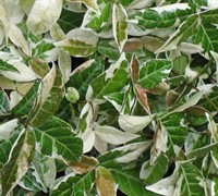 Tricolor Asian Jasmine Picture