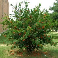 Review of the wonderful pomegranate tree - Planting fruit trees in the fall a garden full of vigor ...