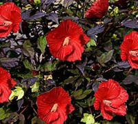 Hibiscus Moscheutos Midnight-Marvel Picture