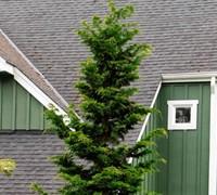 Hinoki Slender Cypress Picture