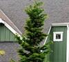 Hinoki Slender Cypress