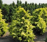 Crippsii Golden Hinoki Cypress Picture