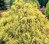 pauls gold cypress shrubs