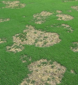 How To Control Spring Dead Spot In Bermuda Lawns