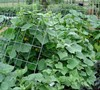 Picture about Can Cucumber Vines Be Pruned