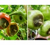 Picture about Unripe Tomatoes Rotting And Squishy On The Plant