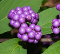 Early Amethyst Beautyberry Picture