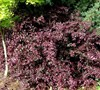 Red Diamond Loropetalum