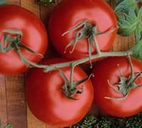 Rutgers Tomato Picture