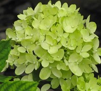 Little Lime Hydrangea Picture
