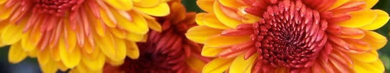How To Plant Fall Garden Mums