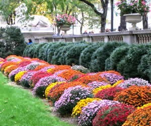 how to plant fall garden mums - Fall Garden Plant