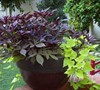 Blackie and Margarita sweet potato vine