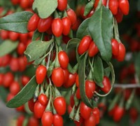 Sweet Lifeberry Goji Berry Picture