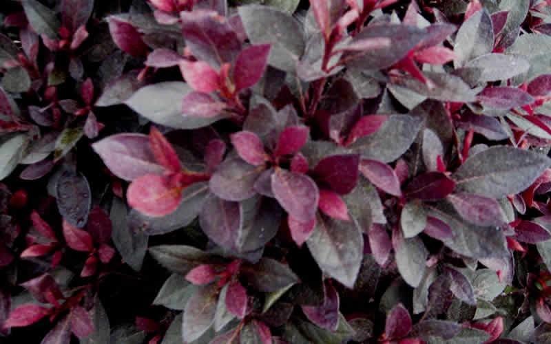 Crimson Queen Azalea Picture