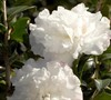 Snow Orchid Magic Camellia
