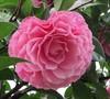 Cile Mitchell Camellia