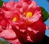 Mark Chason Camellia Japonica