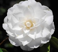 White By The Gate Camellia Japonica Picture