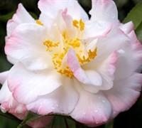 Omega Camellia Japonica Picture