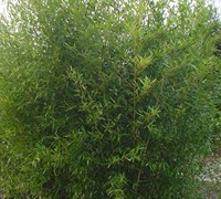 Dwarf Bisset Bamboo Picture