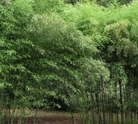Nude Sheath Bamboo Picture