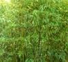 Bamboo Phyllostachys Humilis