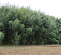 Slender Crookstem Bamboo Picture