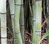 Slender Crookstem Bamboo