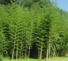 Giant Bamboo Phyllostachys Vivax