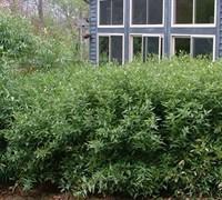 Bamboo Shibataea Lancifolia Picture