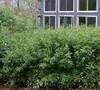 Bamboo Shibataea Lancifolia