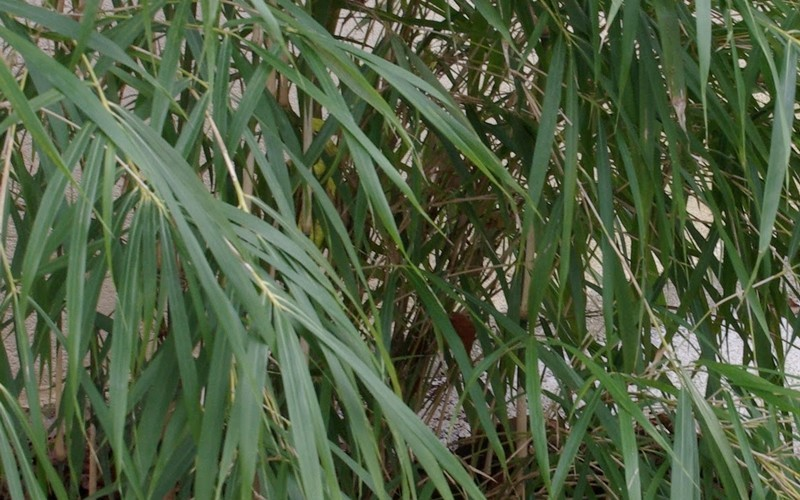 Linearis Narrow Leaf Bamboo Picture