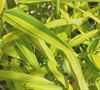 Dwarf Green Stripe Bamboo Picture