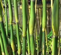 Tsutsumiana Green Onion Bamboo Picture