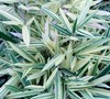 Sam Variegated Bamboo