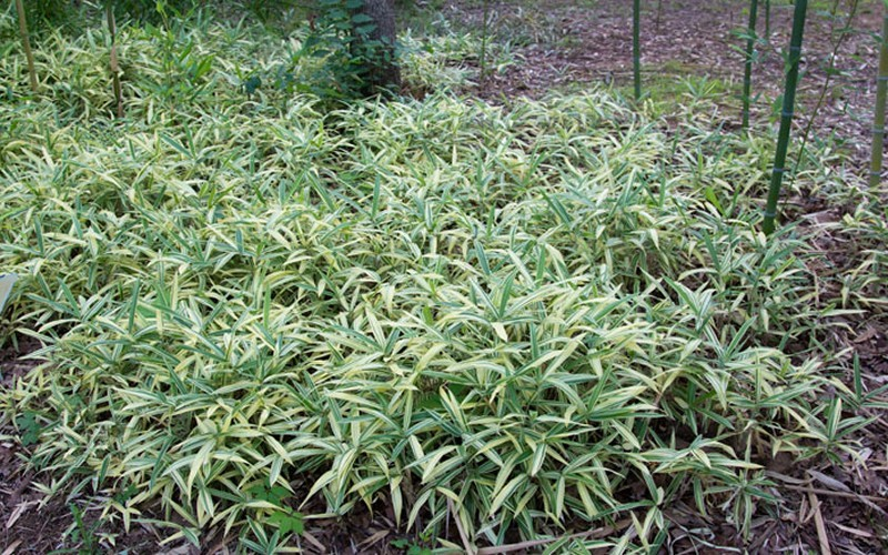Sam Variegated Bamboo Picture