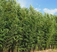 Golden Bamboo Phyllostachys Aurea Flavescens Inversa Picture