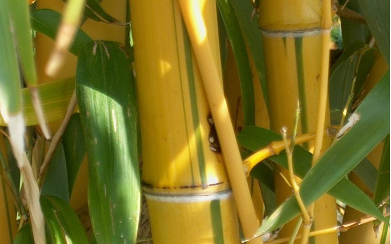 Green Stripe Vivax Bamboo Picture