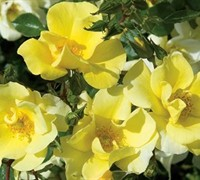Thrive Lemon Rose Picture