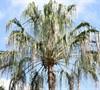 Australian Ribbon Palm