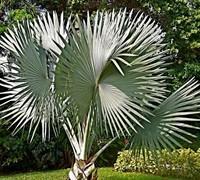 Bismarck Palm Picture