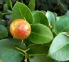Boxwood Beauty Natal Plum
