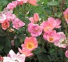 Rainbow Knock Out Rose