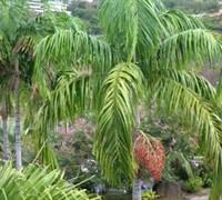 Carpentaria Palm Picture