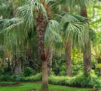 Chinese Fan Palm Picture