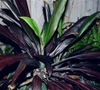 Black Magic Cordyline Picture