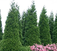 Green Giant Arborvitae Picture